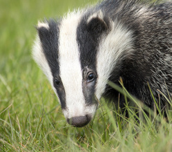 Derbyshire Dales District Council voted at a meeting last night (8 October) to ban the culling of badgers on land the authority owns.